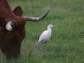 Cattle egret - lehmähaikara