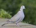 Collared dove - turkinkyyhky