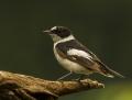 Collared flycatcher - sepelsieppo
