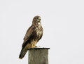 Common buzzard - hiirihaukka