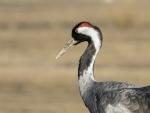 Common crane - kurki
