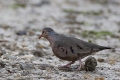Common ground-dove - suomuvarpuskyyhky