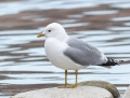 Common gull - kalalokki
