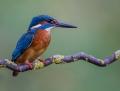 Common kingfisher - kuningaskalastaja