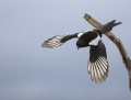 Common magpie - harakka