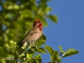 Common rosefinch - punavarpunen