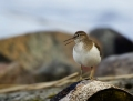 Common sandpiper - rantasipi