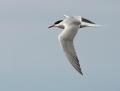 Common tern - kalatiira