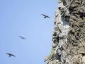 Crag martin - kalliopääsky
