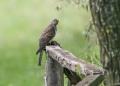 Cuckoo - käki