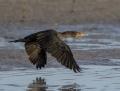 Double-crested cormorant - amerikanmerimetso