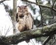Eagle owl - huuhkaja