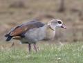 Egyptian goose - afrikanhanhi