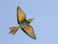 European bee-eater - mehiläissyöjä