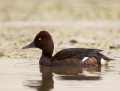 Ferruginous duck - ruskosotka