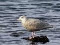 Glaucous gull - isolokki