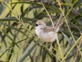 Graceful prinia - priinia