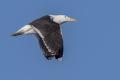 Great black-backed gull - merilokki -