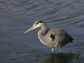 Great blue heron - amerikanharmaahaikara