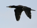Great cormorant - merimetso