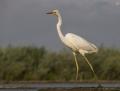 Great egret - jalohaikara