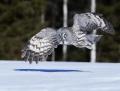 Great grey owl - lapinpöllö