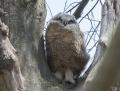 Great horned owl - amerikanhuuhkaja