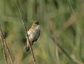 Great reed warbler - rastaskerttunen
