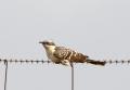Great spotted cuckoo - harakkakäki