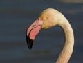 Greater flamingo flamingo