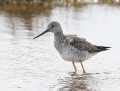 Greater yellowlegs - amerikanviklo