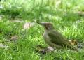 Green woodpecker - vihertikka