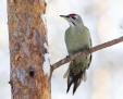 Grey-headed woodpecker - harmaapäätikka
