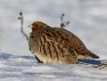 Grey partridge - peltopyy