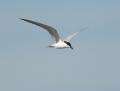 Gull-billed tern - hietatiira