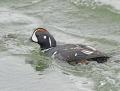 Harlequin duck - virta-alli