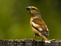 Hawfinch - nokkavarpunen