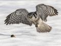 Hawk owl - hiiripöllö