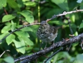 Hermit thrush - erakkorastas
