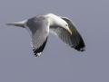 Herring gull - harmaalokki