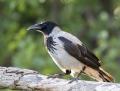 Hooded crow - varis