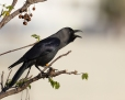 House crow - intianvaris