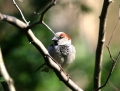 House sparrow - varpunen