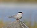 Arctic tern - lapintiira