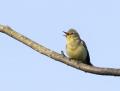 Icterine warbler - kultarinta