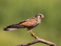 Common Kestrel - tuulihaukka