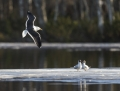 Lesser black-backed gull, black-headed gull
