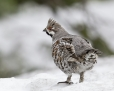 Hazel grouse