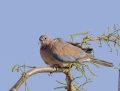 Laughing dove - palmukyyhky