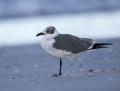 Laughing gull - nokisiipilokki